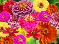 Zinnia Flower Seed Mix