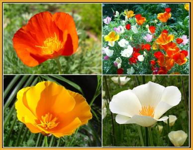 California Dreaming CA Poppy Flower Seed Mix