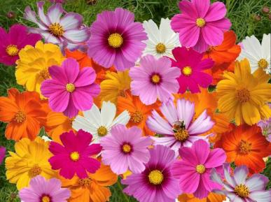 Crazy for Cosmos Cosmos Flower Seed Mix