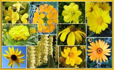 Ole yeller exclusive yellow wildflower seed mix ole yeller yellow flower seed mix mightylinksfo