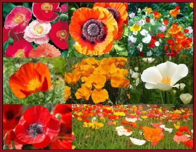 Poppy power poppy flower seed mix poppy power poppy seed mix mightylinksfo