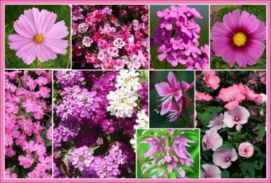 Pretty in Pink Pink Flower Seed Mix