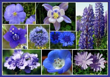 Singin the Blues Blue Flower Seed Mix