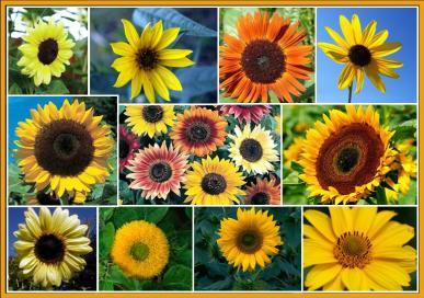 Sunny Sunflower Seed Garden Mix