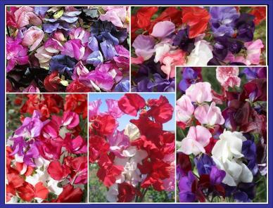 Sweetie - Sweet Pea Flower Seed Mix