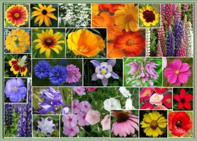 Western Wildflower Seed Mix- 1/4 Pound