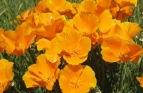 California Poppy Seeds (Heirloom)