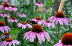 Coneflower Seeds (Heirloom)