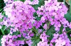 Dame's Rocket (Hesperis) Seeds (Heirloom)
