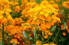 Wallflower Seeds (Heirloom)