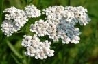 Yarrow Seeds (Heirloom)