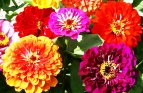 Zinnia Seeds (Heirloom Seeds)