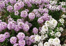 Alyssum Seeds For Sale Buy In Bulk Or By The Packet
