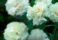Heirloom Dianthus Flower Seeds Flowerseedstore Com