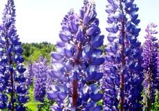 Wild Perennial Lupine Seeds - Ounce
