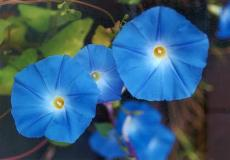Morning Glory Seeds - Heavenly Blue - Packet