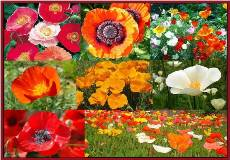 Poppy Power Poppy Seed Mix