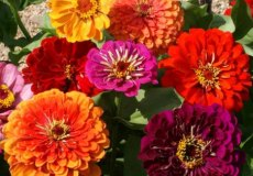 Zinnia Seeds - California Giants - Packet