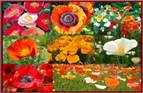 Poppy Flower Seed Mix