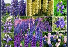 Loopy Lupine Flower Seed Mix