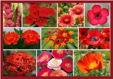 Red Head Red Flower Seed Mix