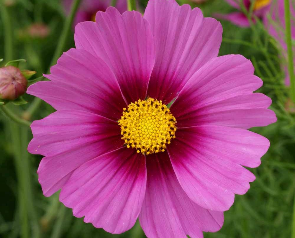 Cosmos seeds for sale buy in bulk or by the packet cosmos seeds radiance mightylinksfo Image collections