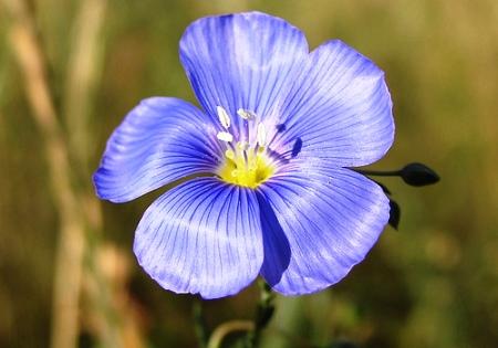 Flax Flower Flower Seeds | Flowerseedstore.com
