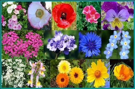 Shorty Low-Grow Wildflower Seed Mix - 1/4 Pound