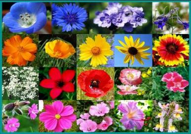 All Annual Wildflower Seed Mix- 1/4 Pound