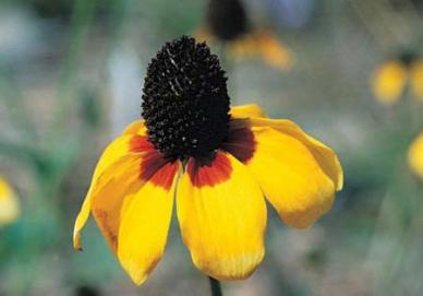 Clasping Coneflower Seeds - Ounce