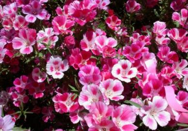 Godetia / Farewell To Spring Seeds - Ounce