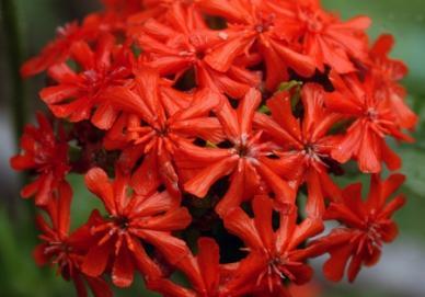 Maltese Cross Seeds - Ounce
