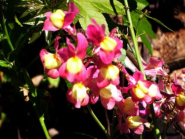 Toadflax / Spurred Snapdragon Seeds